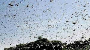 Punjab & KPK Are Locust Free