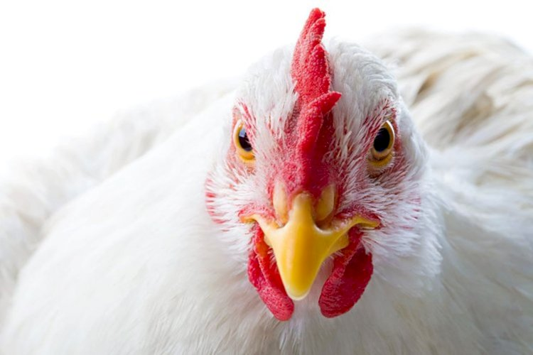 Singapore Allow The Sale Of Lab Prepared Chicken