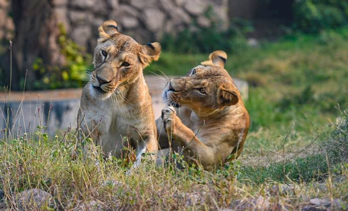 Four Lions Tested Positive For COVID-19 At Barcelona Zoo