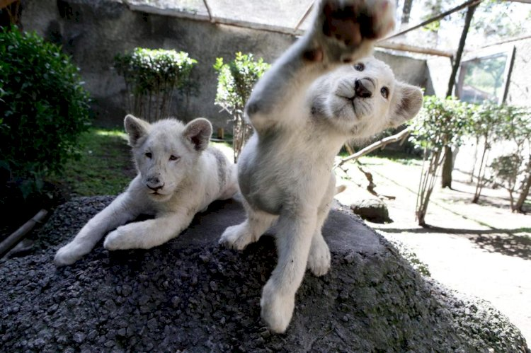Lahore Zoo Kills Two White Lion Cubs
