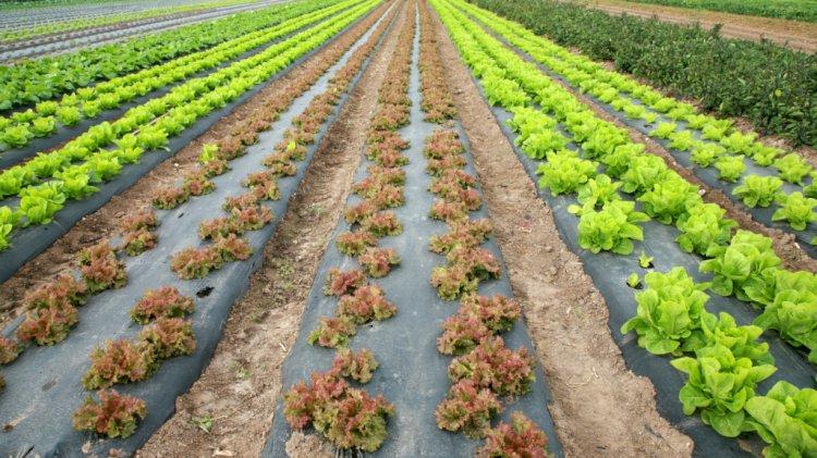 Vegetables Grown In Sewage In Malir, Korangi Destroyed, SHC Told
