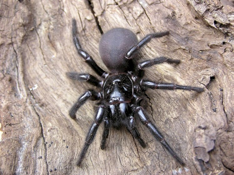 Australians notified of deadly spider outbreak after flooding
