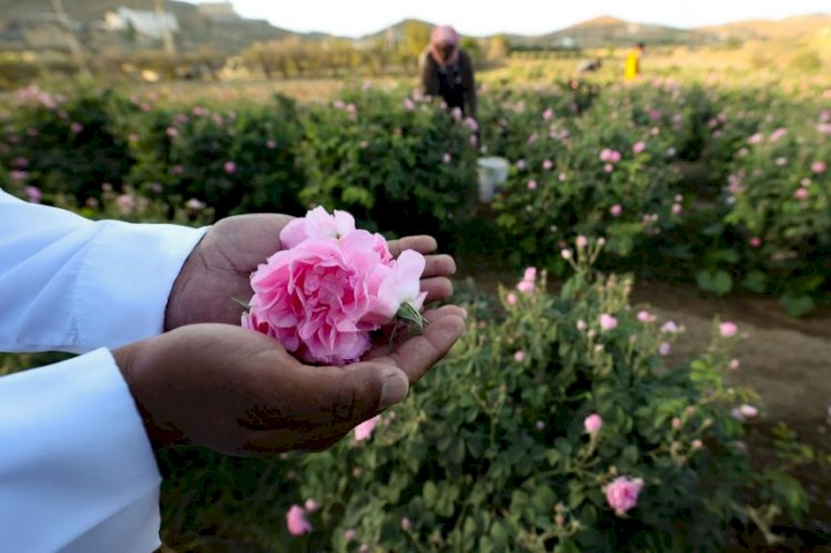 Taif, Saudi Arabia's City Of Roses With Over 800 Flower Farms