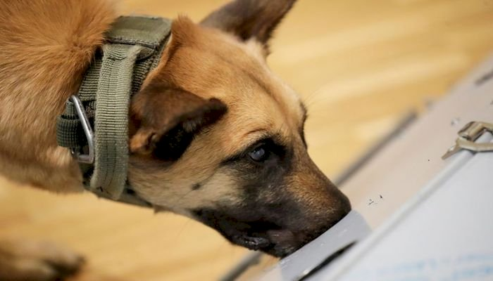 A UK Study Reveals Dogs Can Detect COVID-19 Positive Cases
