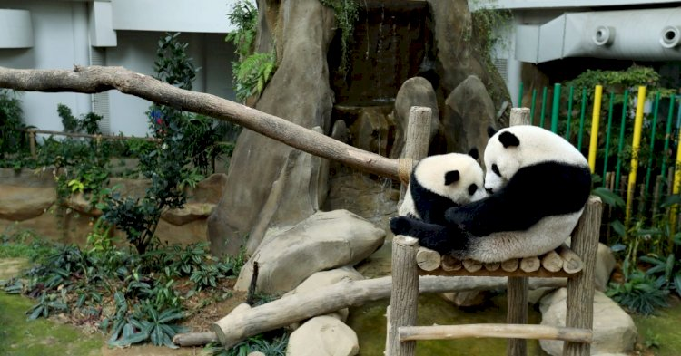 Third Giant Panda Cub Born At Malaysia Zoo