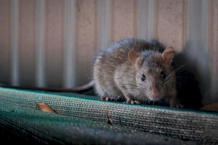 Mouse Plague Forces Prison Evacuation In Australia